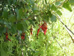 Fuchsia-flowering Gooseberry